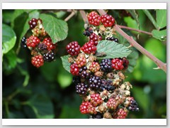 Blackberries at East Morden