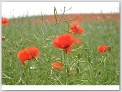 Poppies near The Drovers Inn